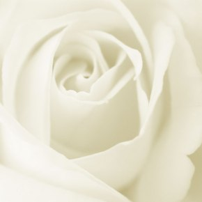 white-rose-wallpaper